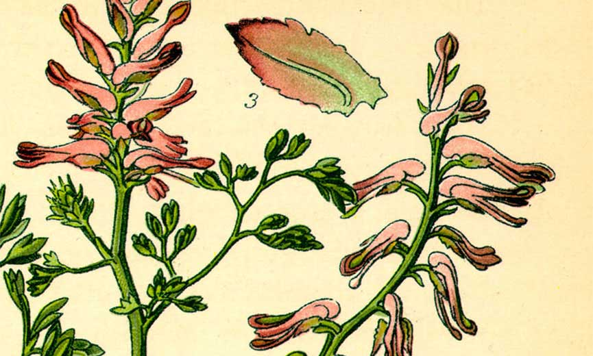 corydalis are to help relieve pain